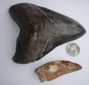 Ząb megalodona w zestawieniu z zębem Karcharodontozaura (Carcharodontosaurus).