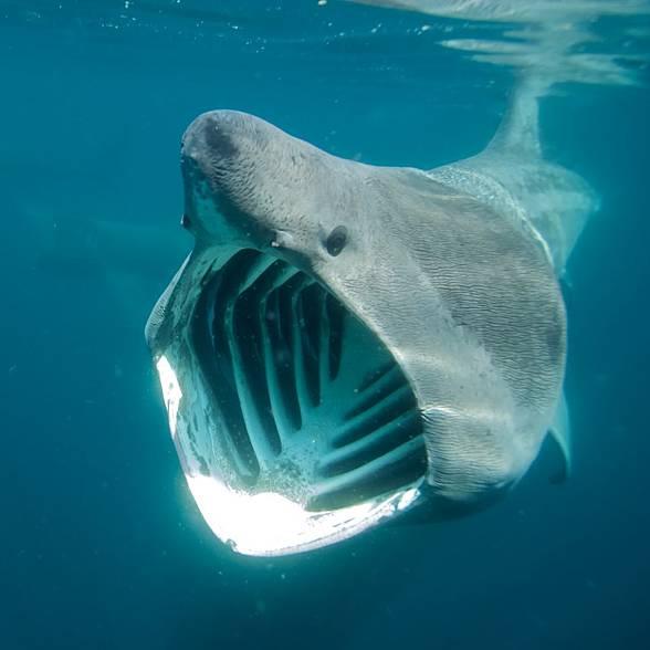 Długoszpar, rekin olbrzymi