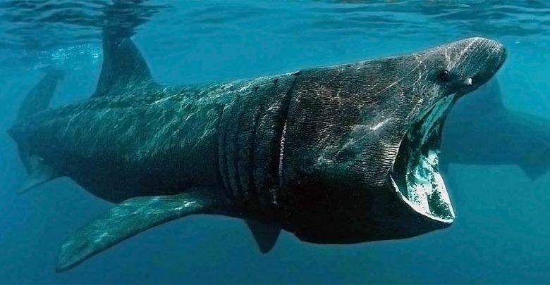 Photo of Długoszpar – rekin olbrzymi