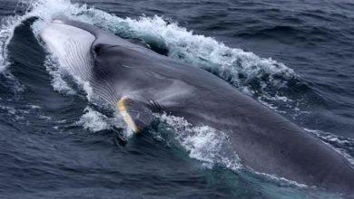 Photo of Finwal – jeden z największych wielorybów