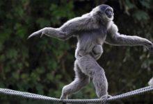 Photo of Gibony – małpy pełne gracji