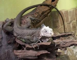 Legwan szlachetny (Iguana delicatissima)