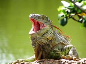Legwan zielony (Iguana iguana)