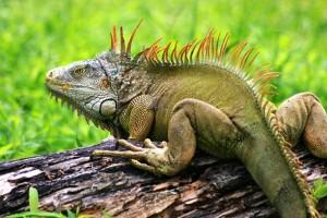 Legwan zielony (Iguana iguana).