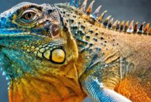 Photo of Iguana – legwan zielony i szlachetny