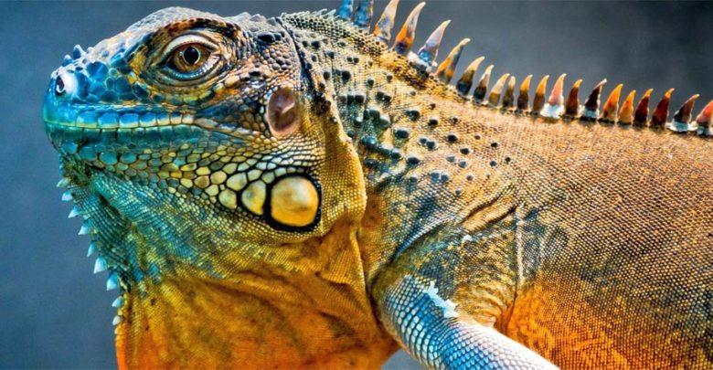 Photo of Iguana – legwan zielony i szlachetny