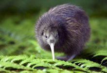 Photo of Kiwi (Apteryx) – ptak z Nowej Zelandii