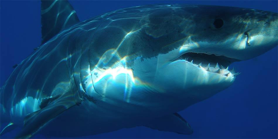 Photo of Megalodon – prehistoryczny rekin