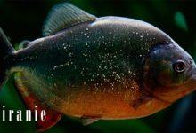Photo of Piranie – drapieżne ryby
