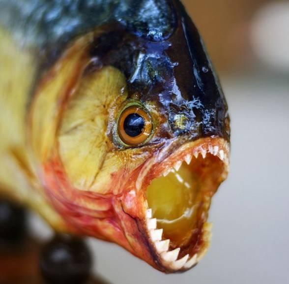 pirania fisch