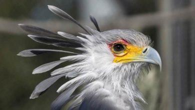 Photo of Sekretarz – elegancki drapieżny ptak