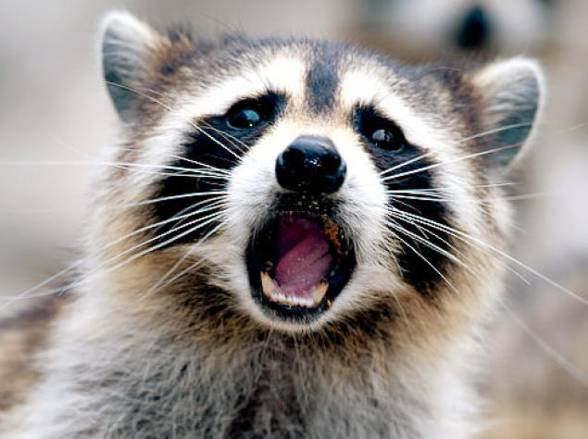 Szop pracz (Procyon lotor) | | DinoAnimals.pl Raccoon With Rabies