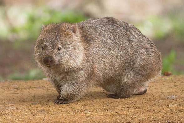 Wombatowate, wombaty (Vombatidae).