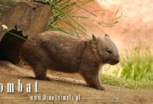 Photo of Wombat – pulchny ssak