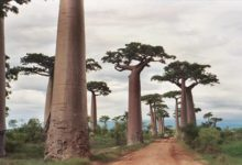 Photo of Baobaby, palczary (Adansonia).