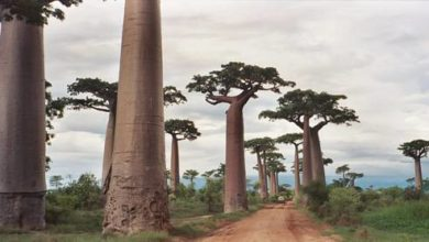 Photo of Baobaby, palczary (Adansonia).