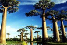Photo of Baobab Grandidiera (Adansonia grandidieri)