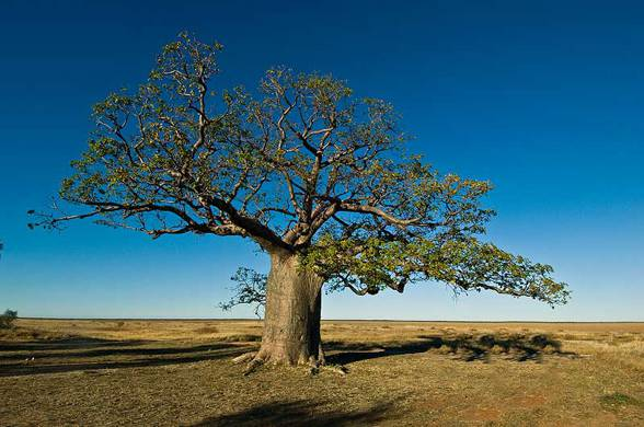 Photo of Baobab australijski (Adansonia gregorii).