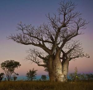 Baobab australijski, boab, (Adansonia gregorii)