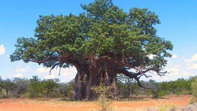 Photo of Baobab afrykański, baobab właściwy.