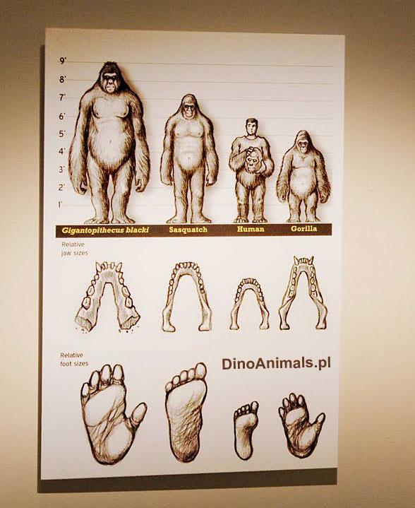 giganteus this gigantopithecus giganteus distinguish gigantopithecusGigantopithecus Giganteus