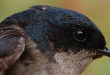 Photo of Jaskółki (Hirundinidae) – ptaki wolności