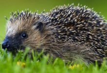 Photo of Jeże (Erinaceidae) – kolczaste ssaki