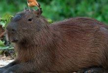 Photo of Kapibara (Hydrochoerus hydrochaeris)