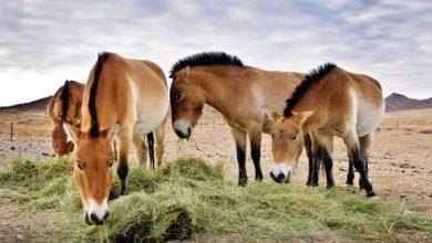Photo of Koń Przewalskiego (Equus przewalskii)