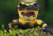 Photo of Salamandra plamista (Salamandra salamandra)