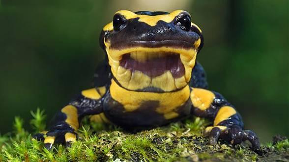Photo of Salamandra plamista (Salamandra salamandra)