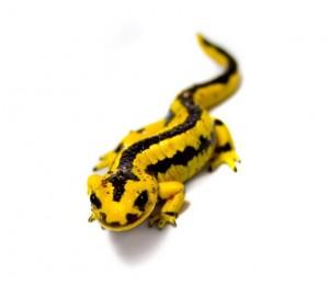 Salamandra plamista, jaszczur plamisty, jaszczur ognisty (Salamandra salamandra).