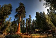 Photo of Sekwoja (Sequoia sempervirens).