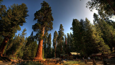 Photo of Sekwoja (Sequoia sempervirens).