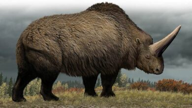 Photo of Elasmoterium – prehistoryczny nosorożec