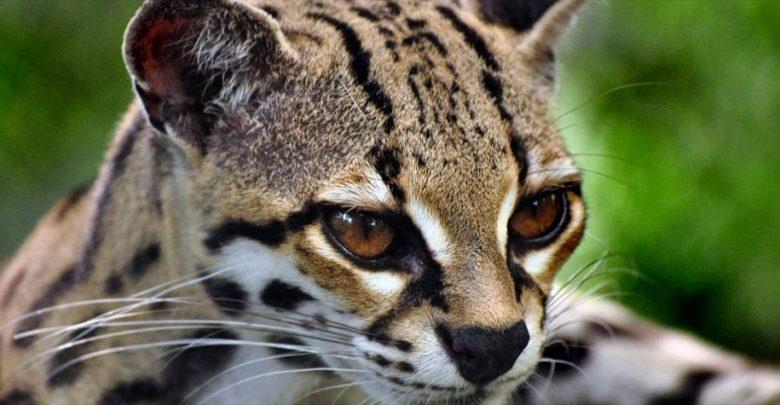 Photo of Margaj (Leopardus wiedii)