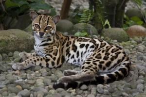 Margaj (Leopardus wiedii).