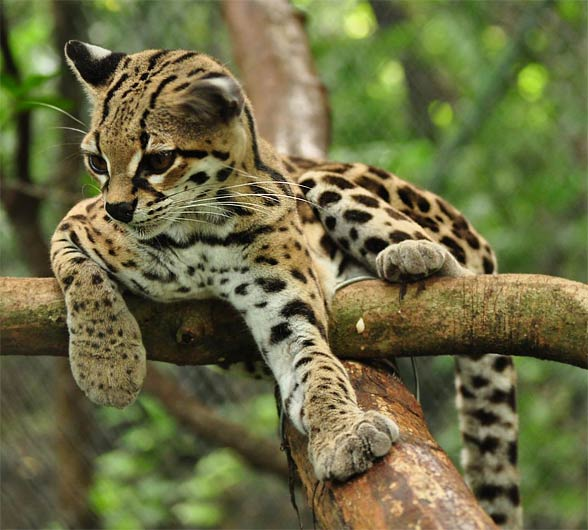 Cats that look like leopards 11