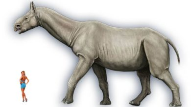 Photo of Paraceratherium, Indrikoterium Baluchitherium
