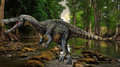 Photo of Suchomim (Suchomimus)