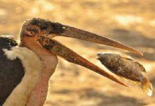 Photo of Marabut afrykański – najbrzydszy ptak świata?
