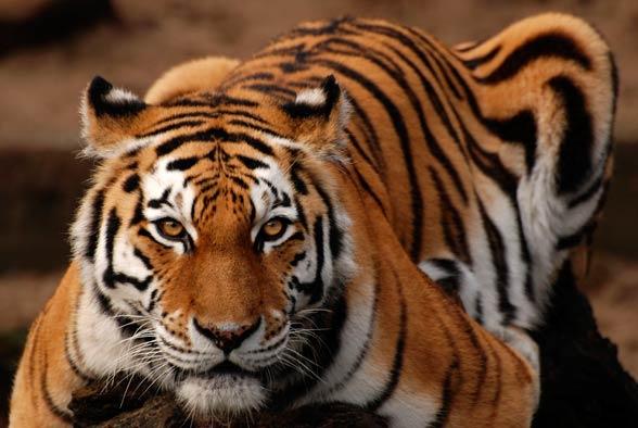 Tygrys syberyjski, tygrys amurski (Panthera tigris altaica).