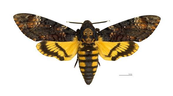 My motyle nocne heterocera - Gros papillon de nuit dangereux ...