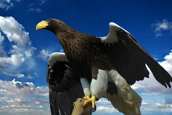 Bielik olbrzymi (Haliaeetus pelagicus).