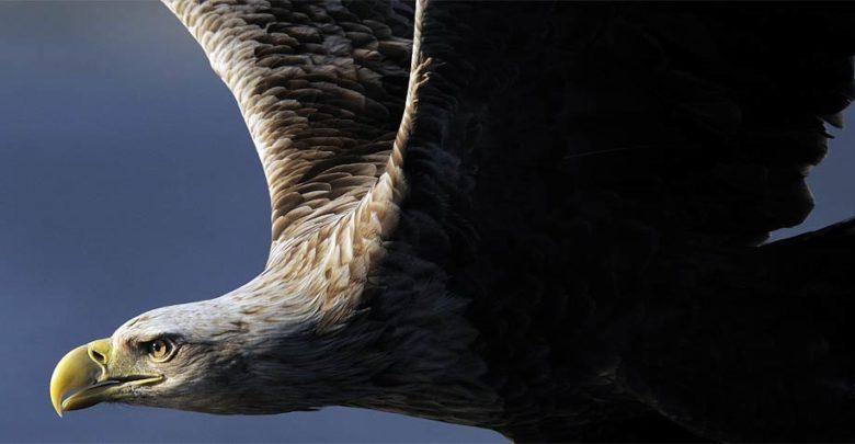 Photo of Bielik zwyczajny (Haliaeetus albicilla)