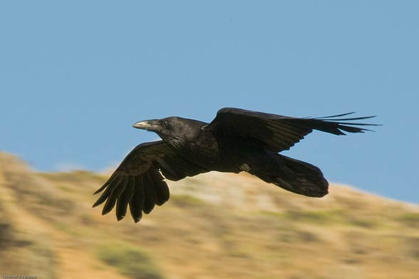 Летящая ворона картинки