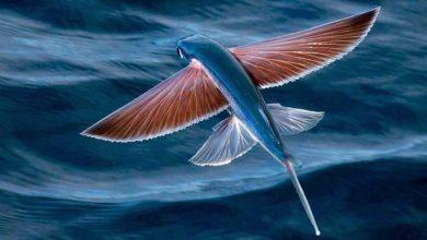 Photo of Ryby latające (Exocoetidae)