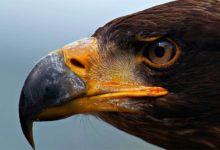 Photo of Największe ptaki drapieżne – TOP 10