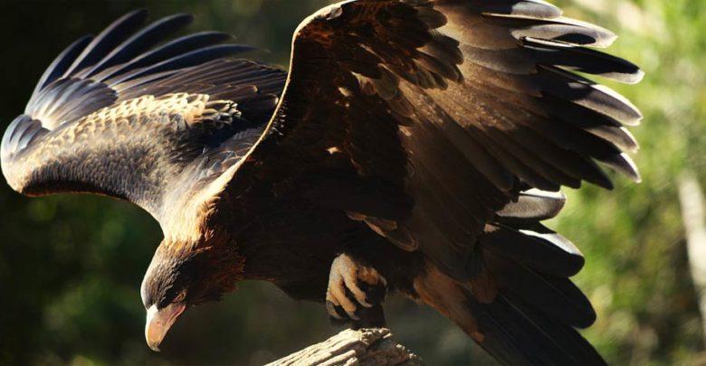 Photo of Orzeł australijski (Aquila audax)