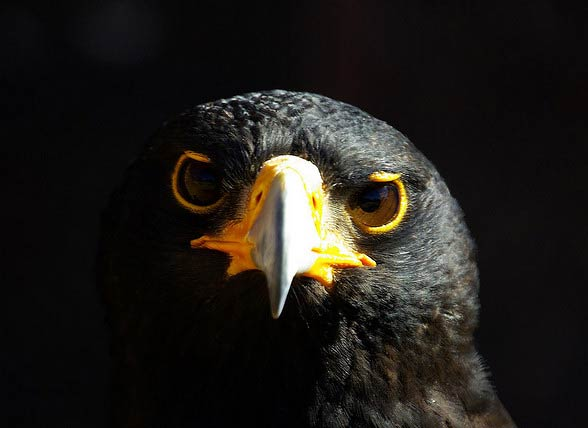 Orzeł czarny (Aquila verreauxii)